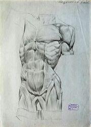 Учебный рисунок мышц живота и грудной клетки. Гипсовая постановка